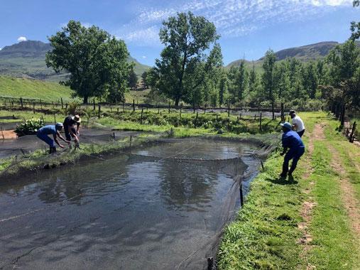 Oppdrettsanlegg for ørret i Sør-Afrika. Fire personer samarbeider om å håndtere et garn eller nett. Foto: Knut Gunnar Nustad.